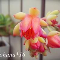 ピーチプリデのお花が咲きました~♪