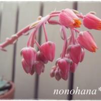 花芽がいっぱいな桃太郎☆