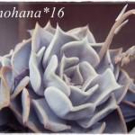 多肉植物 リラシナ