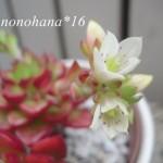 レティジアのお花が咲きました~♪