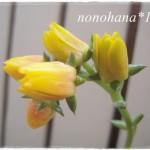 ファイヤーリップのお花が咲きました♪