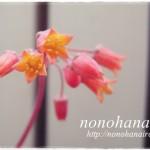 アモエナのお花が咲きました♪