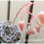 リラシナのお花が咲きました~♪
