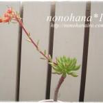 スプルセオリバーのお花が咲きました♪