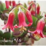 咲いた~♪咲いた~♪ パピラリスの花が~♪