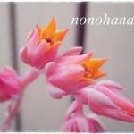 ステキな花芽さん♪ サブセシリス