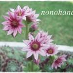 NEWセンペル鉢にお花が咲きました♪