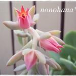 白鳳のお花が咲きました~♪