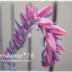 紫色の多肉さん☆ いろいろ開花中~♪