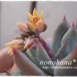 サン美人のお花が咲きました♪