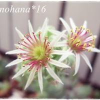 センペルに白いお花が咲きました~♪