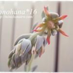 トップスレンダーのお花が咲きました♪