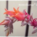 ルンヨニーのお花が咲きました♪