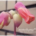 マルニエリアナのお花が咲きました♪