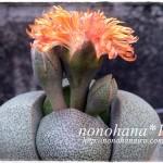 帝玉が3発開花しそうです~♪