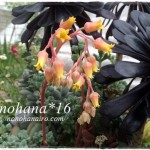 ミラのお花が咲きました♪in ボヘミア~ンな黒法師の寄せ植え