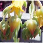 パリダプリンスのお花が咲きました~♪