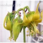 カンパニュラータのお花が咲きました☆