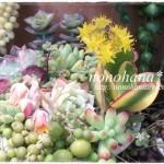 多肉の乙女心&金魚草ブロンズドラゴンが咲いています~♪