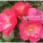 ピンクのバラがいっぱい咲いています☆