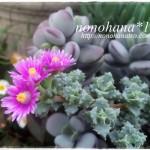 琴爪菊のお花が咲きました~♪