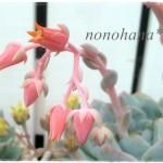 ラウリンゼ&グリムワンのお花が咲きました~♪