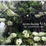 カシワバアジサイがダイナミックに咲き始めました~☆