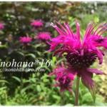 ベルガモット・モナルダのお花が咲いています♪
