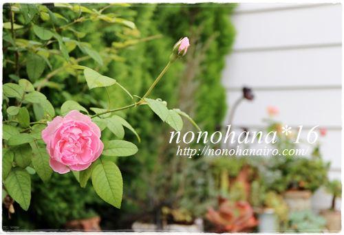 お庭の薔薇