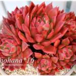 100均鉢にお住まいの真っ赤な相府蓮&モリモリなグリムワンなどなど。