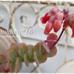 マルニエリアナのお花&ピンク色なフォーカリア達♪