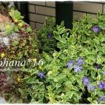 BIGGESTなゴージャス鉢の多肉植物の寄せ植え&ツルニチニチソウ