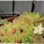 ハオルチア 新芽も花芽も展開し始めました♪