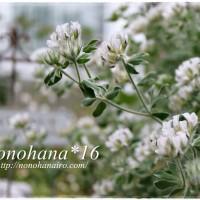ロータスブリムストーンのお花&セネシオ美空の鉾のお花