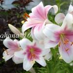 ベル型のお花の季節かな!福だるまも開花しました~♪